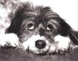 View a Collection of Bearded Collie Prints - Click Here