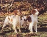 View a Collection of Brittany Spaniel Prints - Click Here