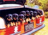 View a Collection of Rottweiler Prints - Click Here