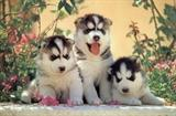 View a Collection of Siberian Husky Prints - Click Here