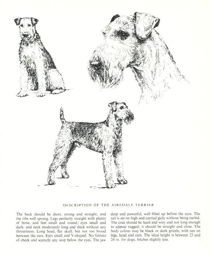 Airedale Terrier Sketch - Country Life