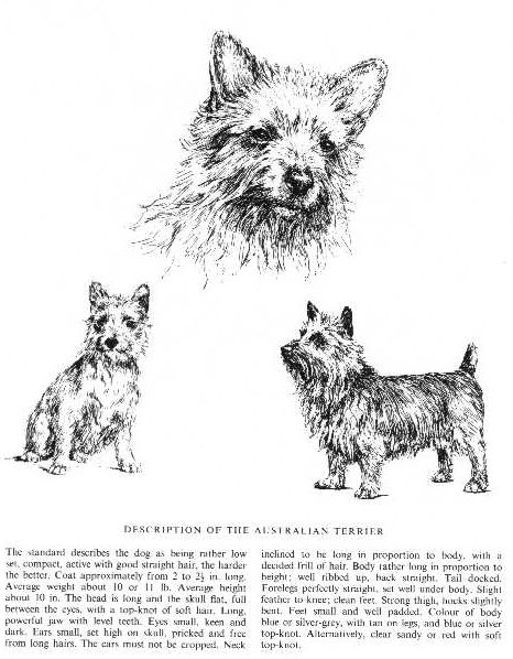 Australian Terrier Sketch - Country Life