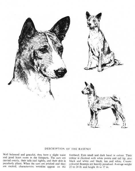 Basenji Sketch - Country Life