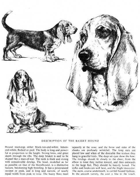 Basset Hound Sketch - Country Life