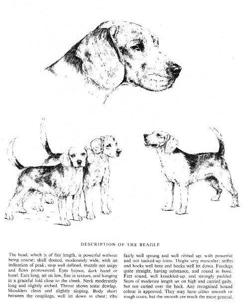 Beagle Sketch - Country Life