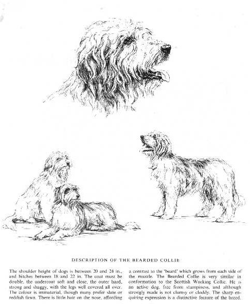 Bearded Collie Sketch - Country Life