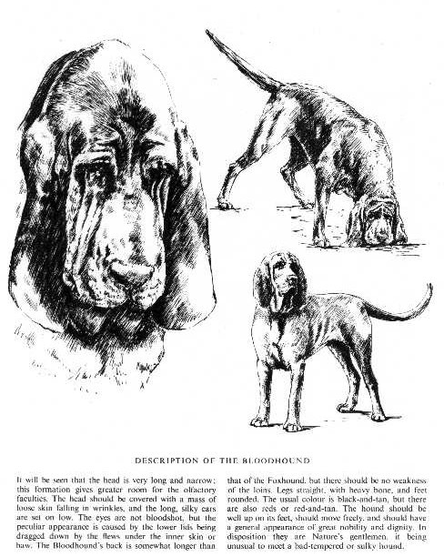 Bloodhound Sketch - Country Life