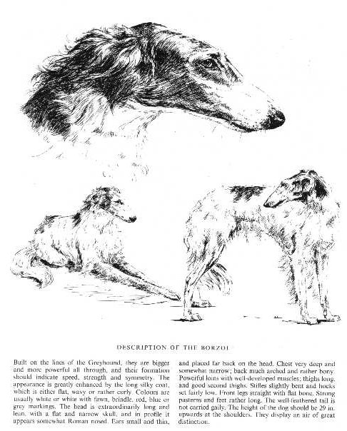 Borzoi Sketch - Country Life