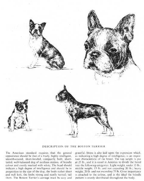 Boston Terrier Sketch - Country Life