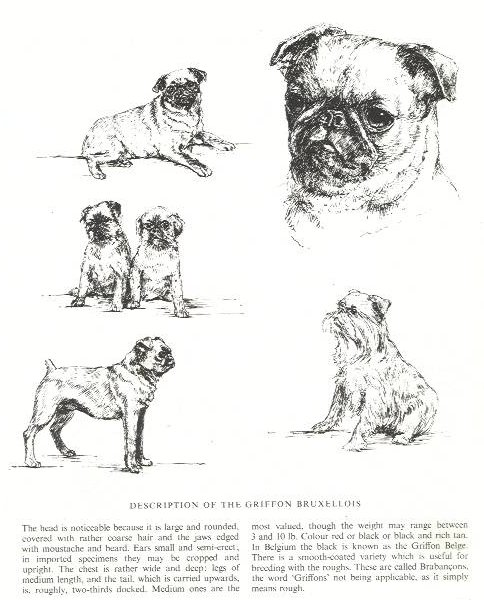 Brussels Griffon Sketch - Country Life