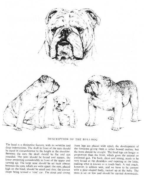 Bulldog Sketch - Country Life