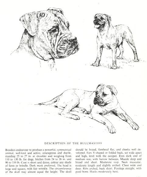 Bullmastiff Sketch - Country Life