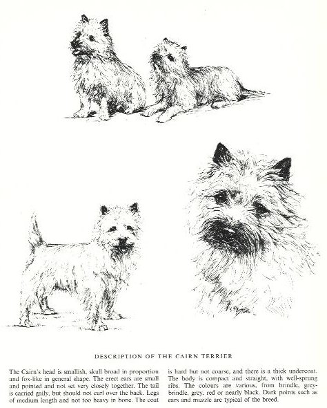 Cairn Terrier Sketch - Country Life