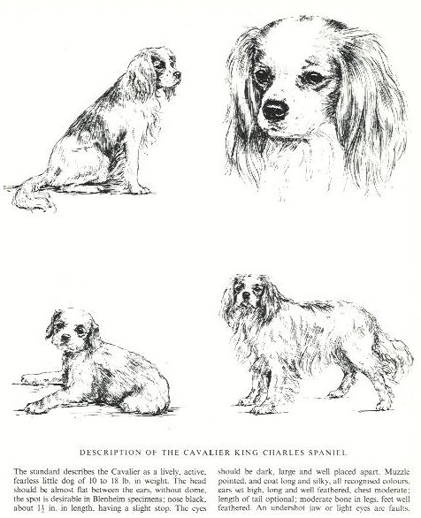 Cavalier King Charles Spaniel Sketch - Country Life