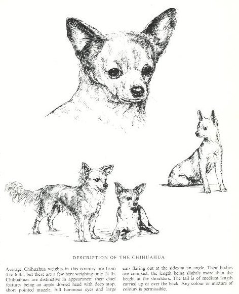 Chihuahua Sketch - Country Life
