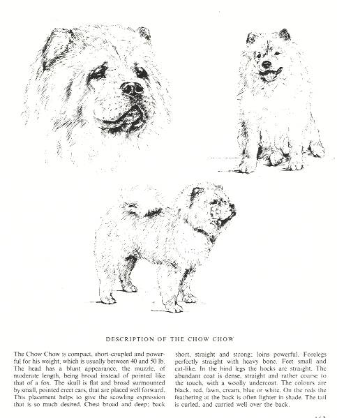 Chow Chow Sketch - Country Life