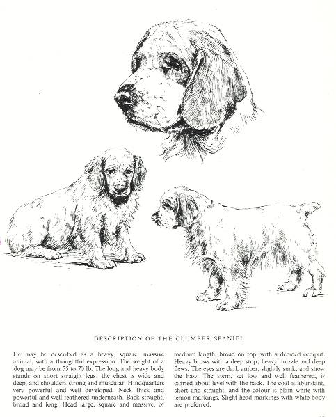 Clumber Spaniel Sketch - Country Life