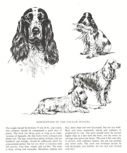 Cocker Spaniel Sketch - Country Life