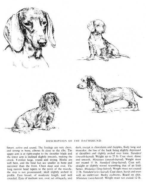 Dachshund Sketch - Country Life