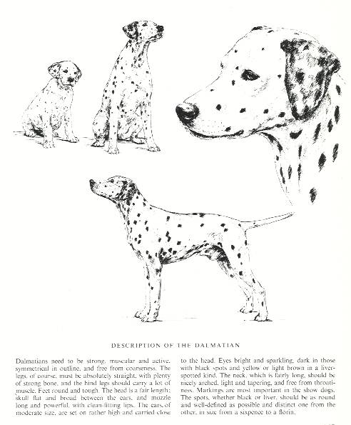 Dalmatian Sketch - Country Life