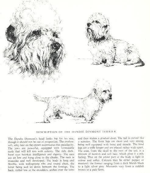 Dandie Dinmont Terrier Sketch - Country Life