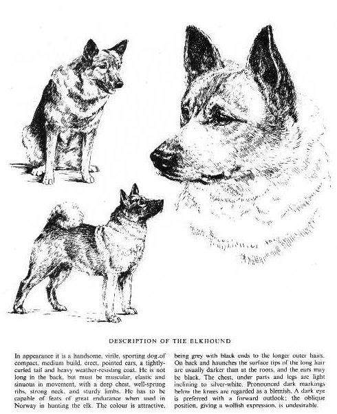 Norwegian Elkhound Sketch - Country Life