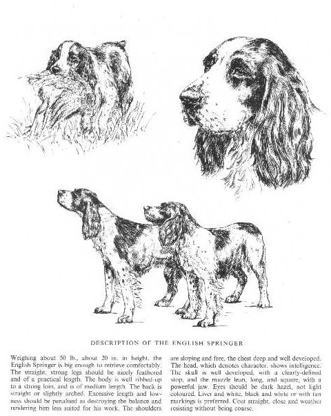 English Springer Spaniel Sketch - Country Life