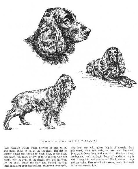 Field Spaniel Sketch - Country Life