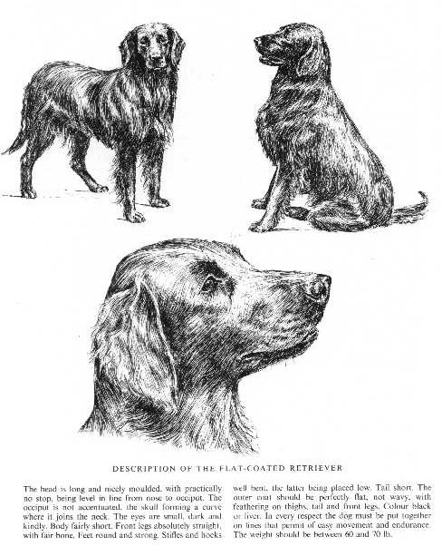 Flat Coated Retriever Sketch - Country Life