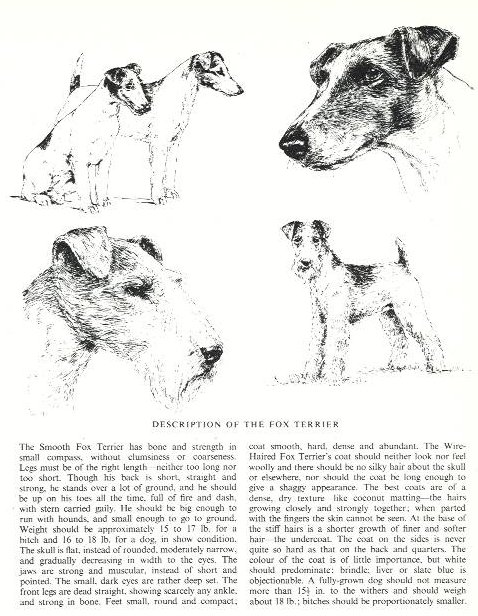 Fox Terrier Sketch - Country Life