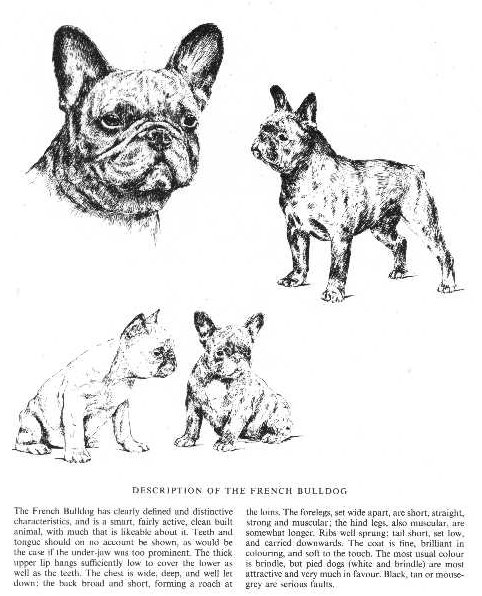 French Bulldog Sketch - Country Life