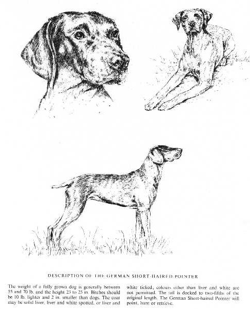 German Shorthaired Pointer Sketch - Country Life