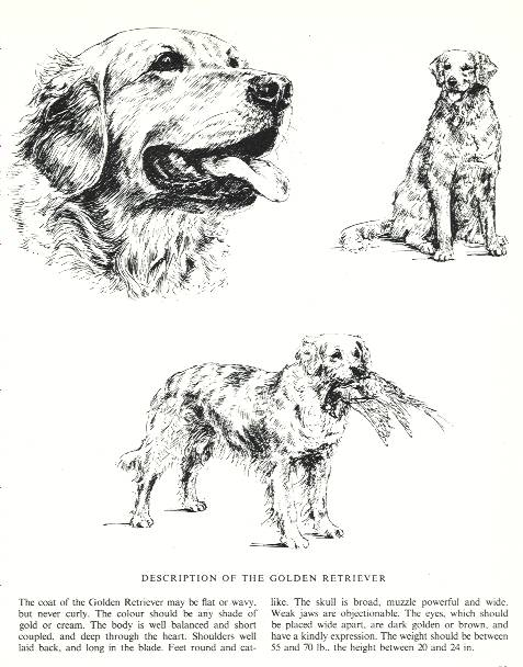 Golden Retriever Sketch - Country Life