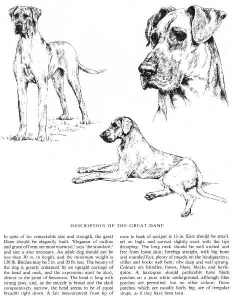 Great Dane Sketch - Country Life