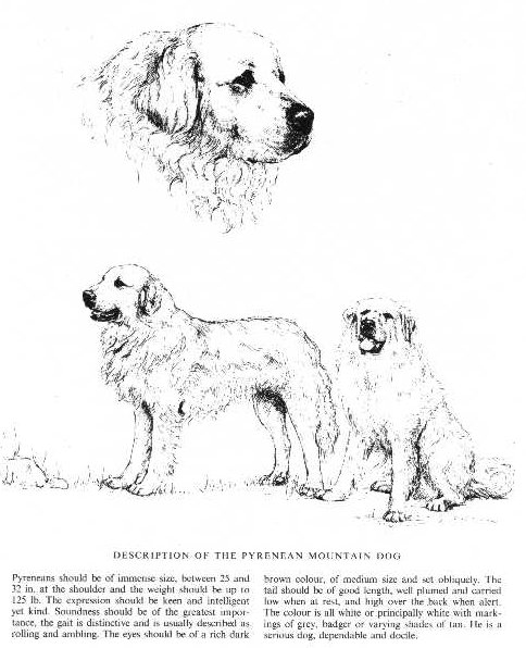 Great Pyrenees Sketch - Country Life