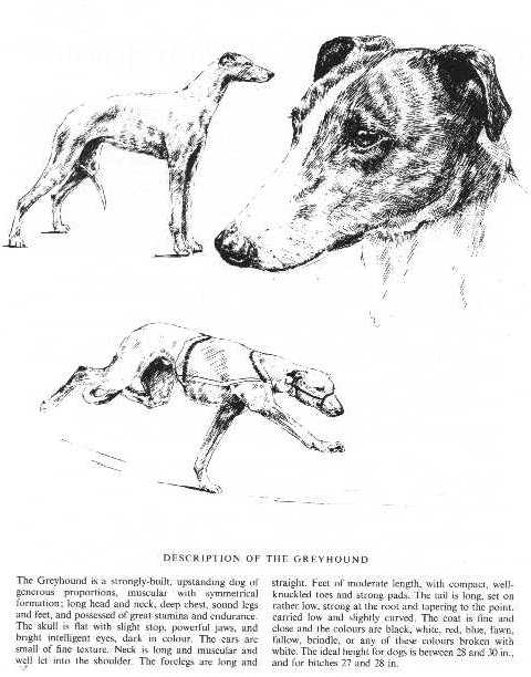 Greyhound Sketch - Country Life