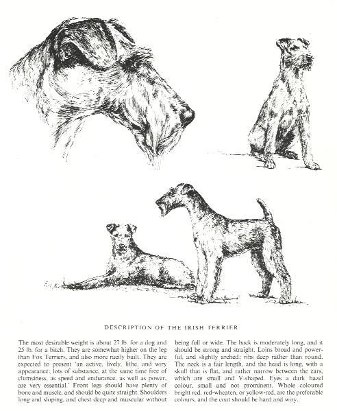 Irish Terrier Sketch - Country Life