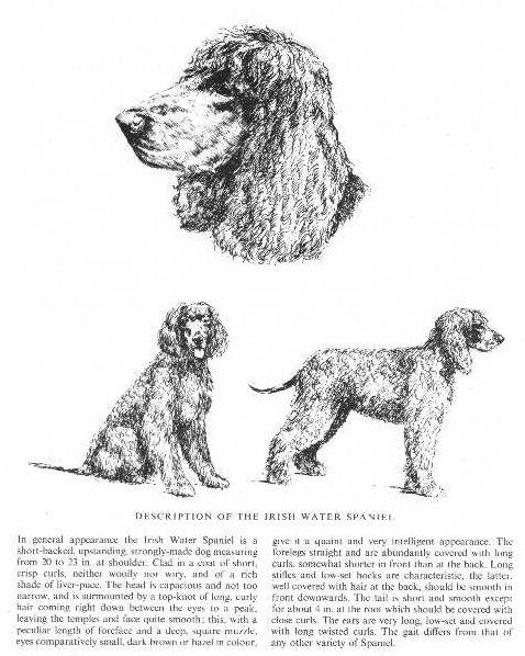 Irish Water Spaniel Sketch - Country Life