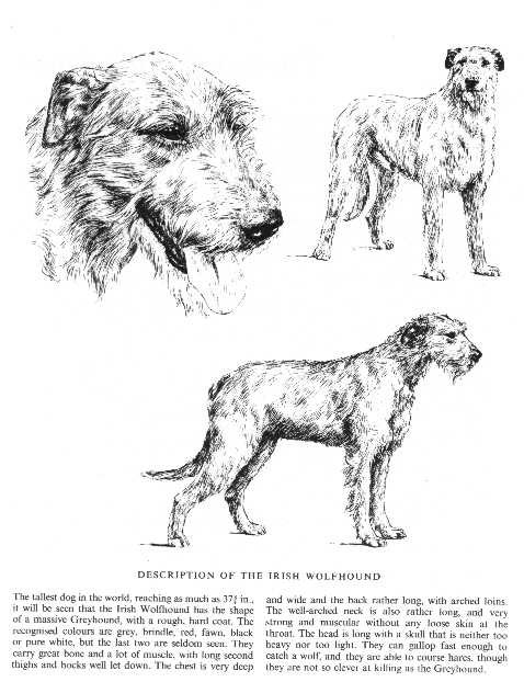 Irish Wolfhound Sketch - Country Life