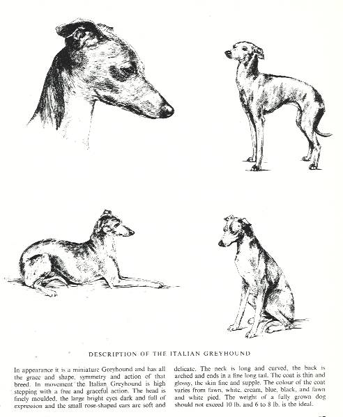 Italian Greyhound Sketch - Country Life