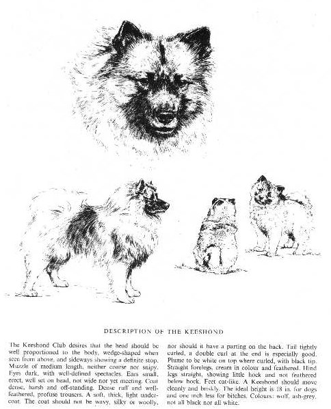 Keeshond Sketch - Country Life