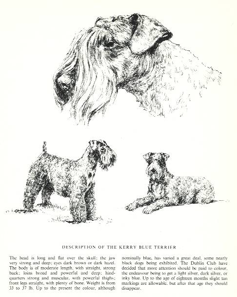Kerry Blue Terrier Sketch - Country Life