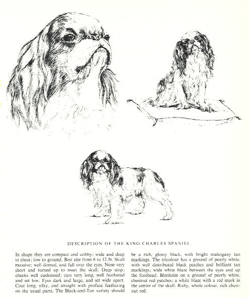 King Charles Spaniel Sketch - Country Life