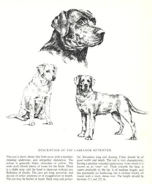 Labrador Retriever Sketch - Country Life