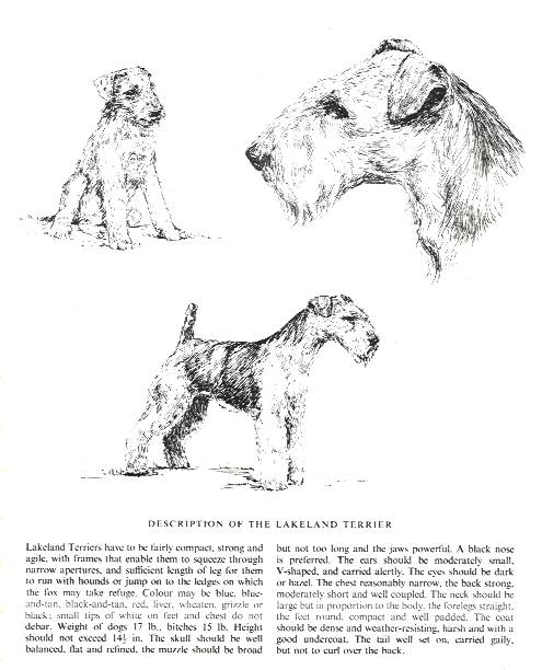 Lakeland Terrier Sketch - Country Life