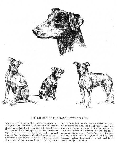 Manchester Terrier Sketch - Country Life
