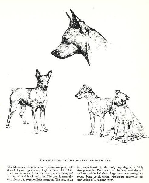 Miniature Pinscher Sketch - Country Life