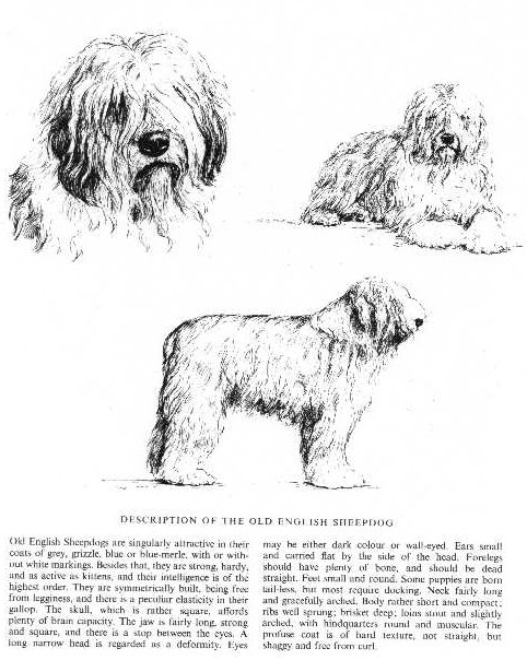 Old English Sheepdog Sketch - Country Life