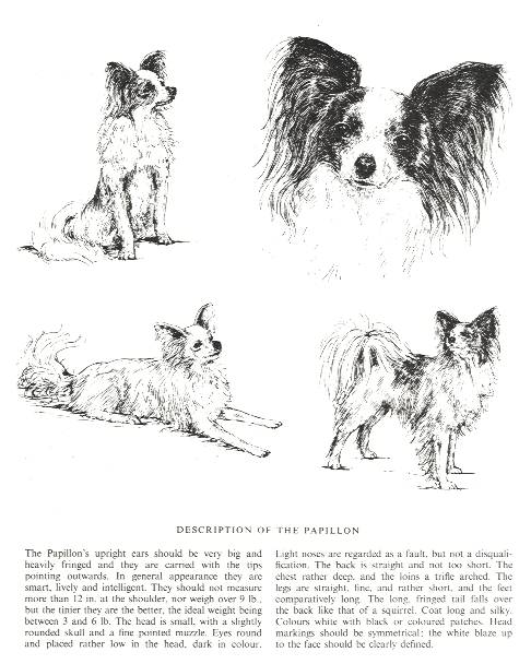 Papillon Sketch - Country Life