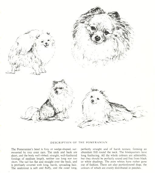Pomeranian Sketch - Country Life